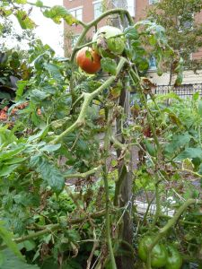early October tomatoes