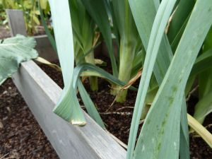 early October leeks