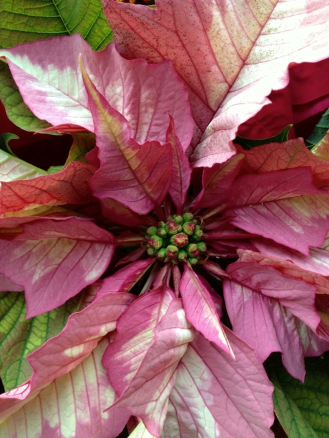 Poinsettia Sparkling PunchP