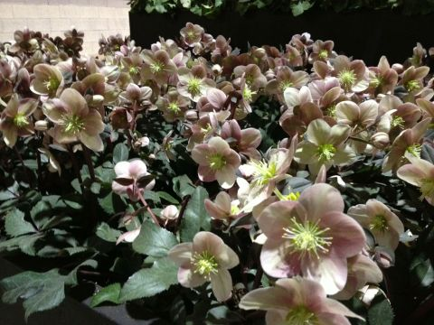 Helleborus 'HGC Mahogany Snow' planted en masse at the Philadelphia Flower Show